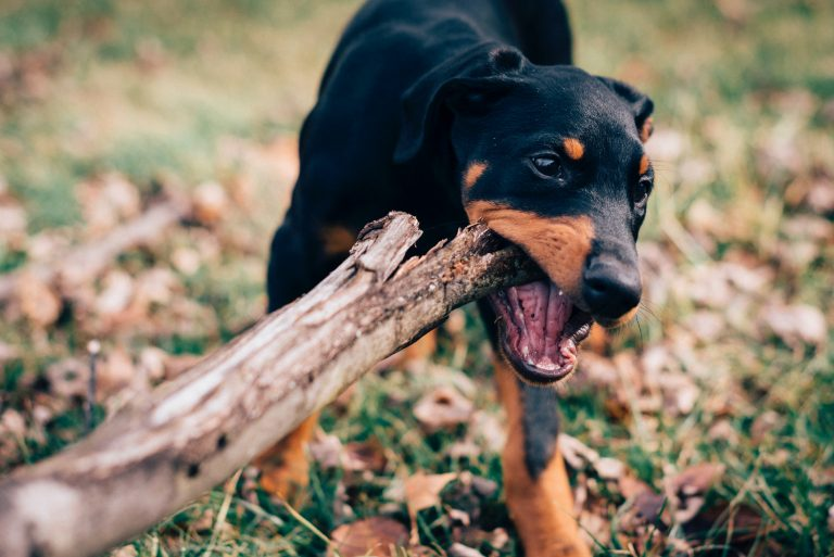 The REAL Reason Your Puppy is Chewing