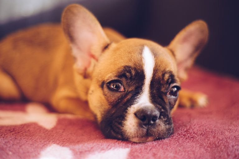 Puppy Care Tips For An Apartment