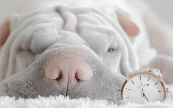 shar pei with a clock - puppy feeding schedule feature image