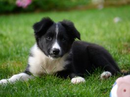 Puppies with double coats - border collie pup